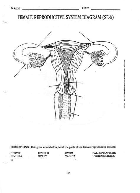 diagram reproductive system unlabeled reproductive system diagram human
