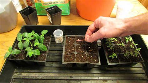 gardeners   startplant tomato seeds indoors