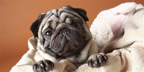 gifts for pug owners some just pug gift ideas for pug owners