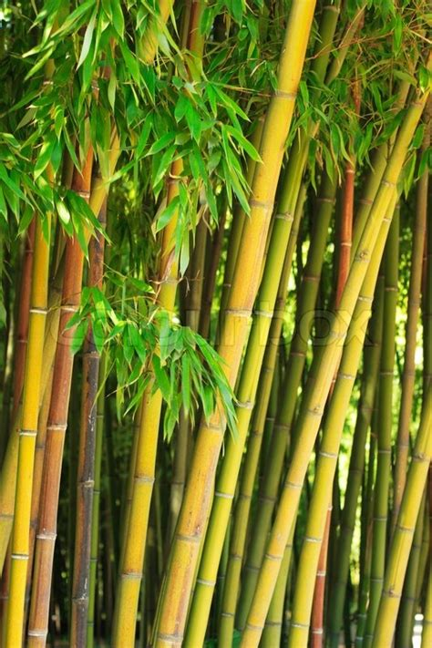 Lukisan Kaligrafi Bambu Yellow Green Bamboo Stalks With Green Leaves Stock Photo Colourbox