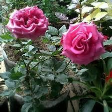 teknik merawat tanaman bunga mawar  benar joko