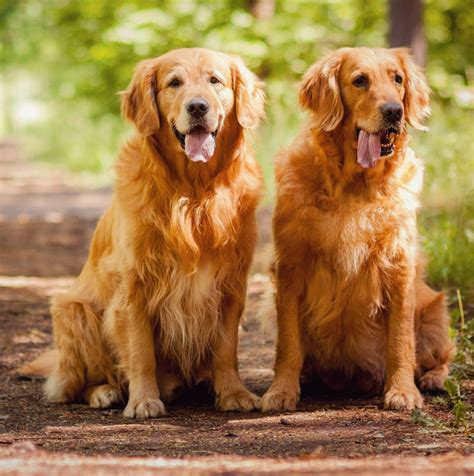 golden retrievers review best food for golden retriever goldenacresdogs