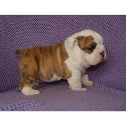 Dogs For Sale In Bulldog Puppies For Sale Puppiesforsale