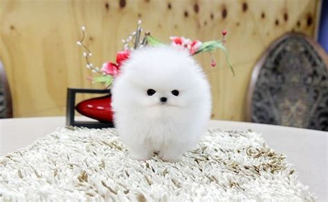 teacup pomeranian puppies craigslist quot micro teacup pomeranian quot from craigslist omigosh photo finds