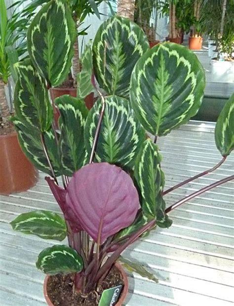 Calathea Maranta Calathea Merak Calatea Tanaman Indoor calathea veitchiana houseplants