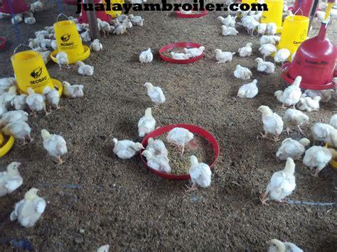 Jual Bibit Ayam Broiler Di Bogor jual ayam broilerjual ayam broiler jual ayam broiler