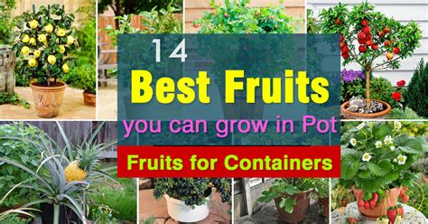 fruits  grow  pots fruits  containers