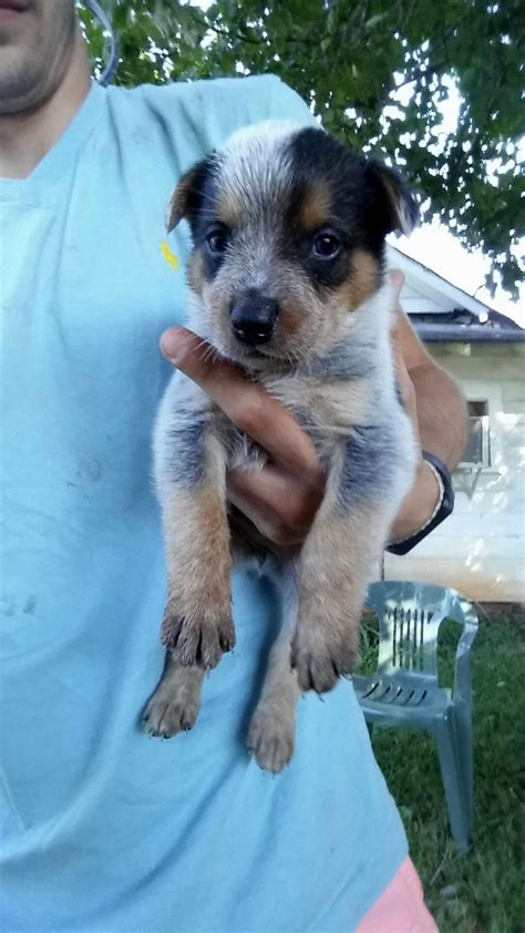blue tick heeler puppies blue tick heeler puppies puppies puppy