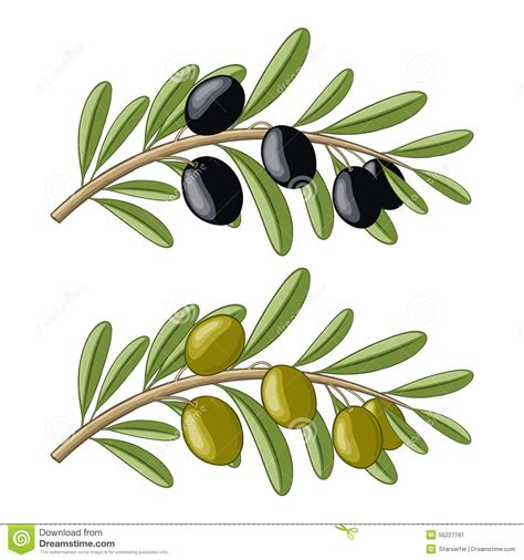 Two With Olive two olive branches stock vector image 55227161