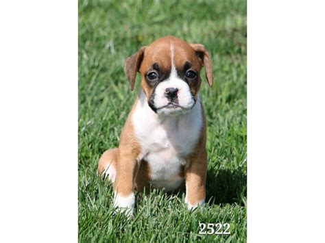 petland ohio puppies boxer petland carriage place