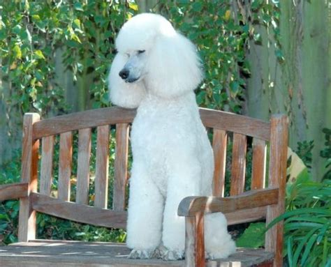 8 Reasons To Choose A Non Pedigree Pet by White Pedigree Poodle Gives Birth To 8 Black Pups In Uk