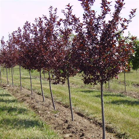 Fast Growing Shade Trees And Ornamental Trees Trees For Sale Cherry Tree Pictures