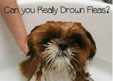 kill fleas on dogs can you kill fleas on a by immersing it in water