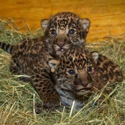 San Diego Zoo Jaguar Spot On Newly Born Jaguar Cubs At San Diego Zoo Zooborns