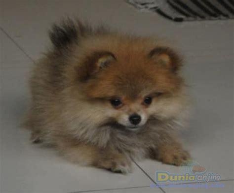 show quality pomeranian dunia anjing jual anjing pomeranian pomeranian puppies show quality bandung