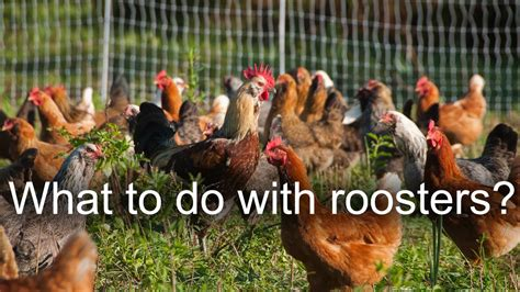 what to do with old chickens and roosters youtube