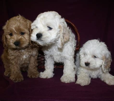 cockapoo puppies for sale nc ranger mini poodle