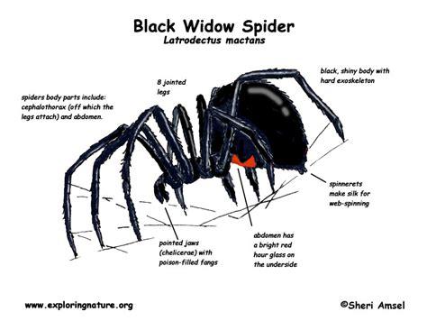 diagram of a black widow spider spider black widow