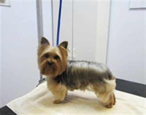 perro yorkie precio terrier web sobre los perros yorkie y miniatura
