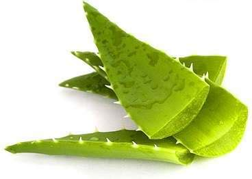 Aloe Vera Detox For Sick Eclectus by Cleansing With Aloe