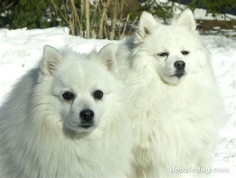 japanese breed dogs japanese spitz breed info images