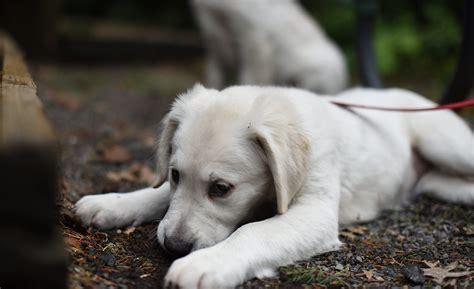 golden retriever puppies eugene oregon puppies for sale in eugene or 97401 baby golden retrievers for sale