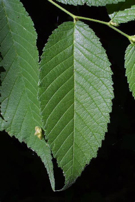 Lf Lq Sabrina Flower ulmus rubra ulmaceae leaf whole surface