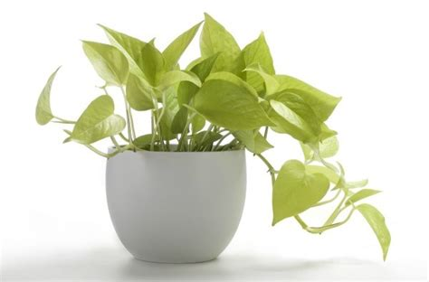 houseplant vine caring for a pothos vine thriftyfun