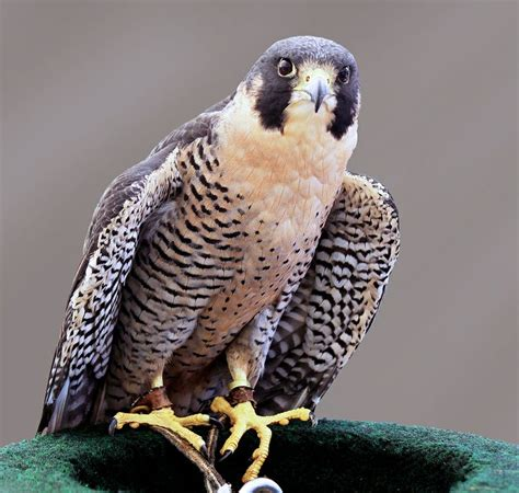 40 best images about falcons nest on pinterest atlanta falcons football wall and blog 40 best falcons images on pinterest birds of prey