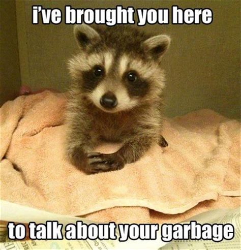 Funny Raccoon Meme - best 25 funny raccoons ideas on pinterest forget me now