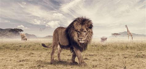 lion king animal photoshop joshua amenyo savannah leo
