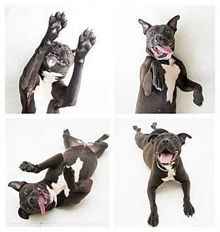 american staffordshire terrier puppies for adoption best 25 american staffordshire terriers ideas on staffordshire terriers