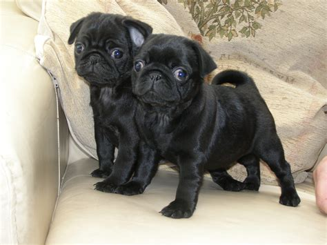 pug puppirs rearing our puppies lewshelly paws