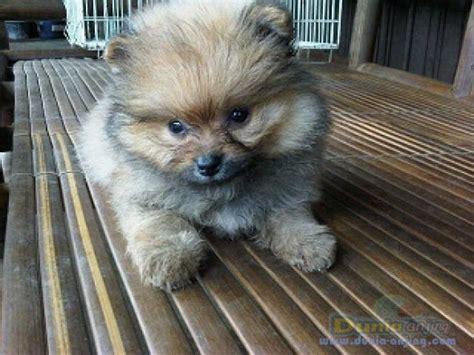 Jual Jual Minipom Jantan Kaskus dunia anjing jual anjing pomeranian jual cepat dan