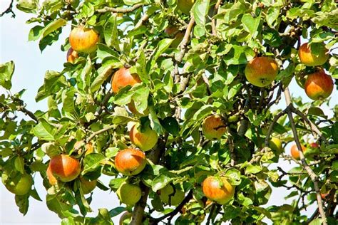 Apfelbaum Alte Sorten 2787 apfelbaum alte sorten 3er set apfelbaum alte sorten