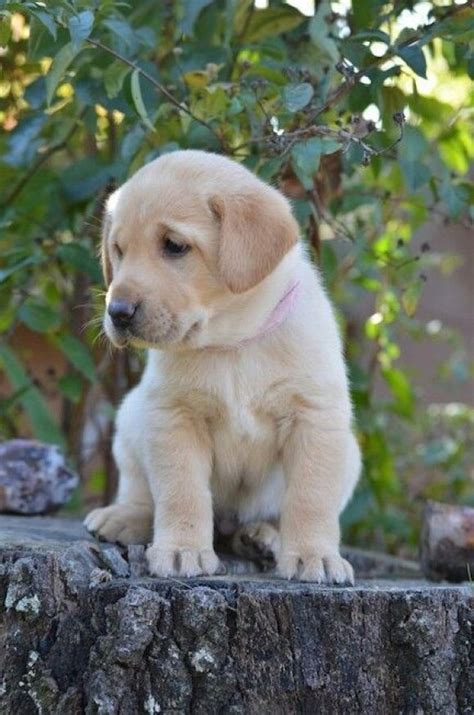 small lab 33 best images about yellow lab puppies on pinterest