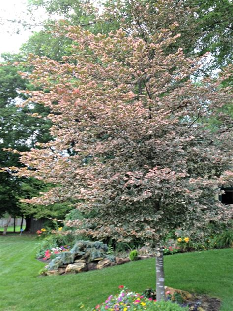 tri colored beech plant of the week tricolor beech eagleson landscape co