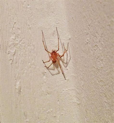 ragni di casa ragno violino in casa no scytodes sp catania forum