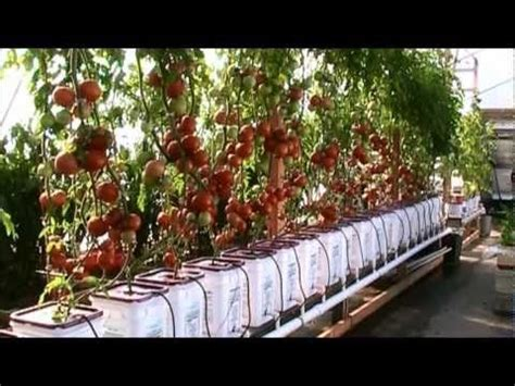 dutch bucket hydroponic tomatoes lessons learned