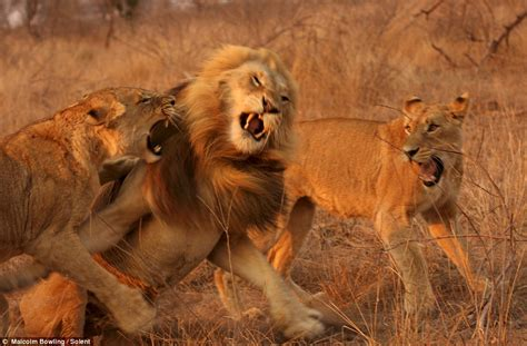imagenes de tres leones juntos de onde imagens em v 237 deos fotos e relatos mundo