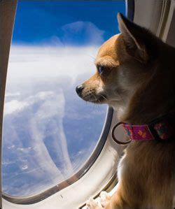flying with an emotional support best 25 emotional support animal ideas on