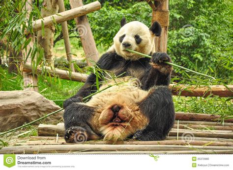 bambus le panda bamboo stock photo image of landmark