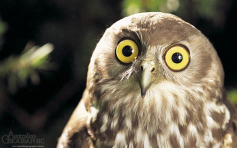 Owl In owl medicine doowans news events