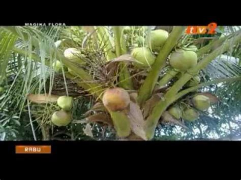 Bibit Kelapa Hibrida Thailand rahsia dibongkarkan teknik semaian anak benih kelapa mataq
