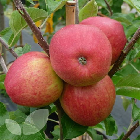 buy fruit trees uk quality fruit trees and soft fruit plants for sale buy