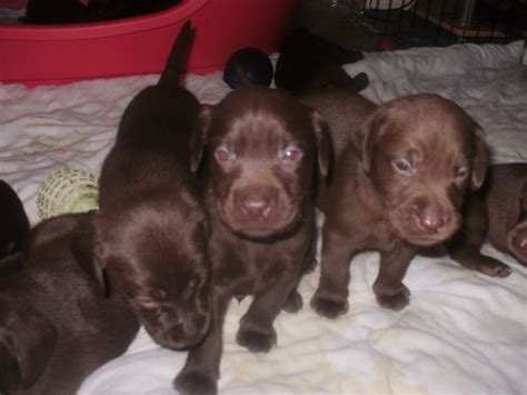 chocolate lab puppies colorado lab puppies for adoption breeds picture