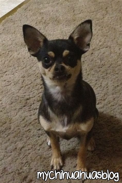 My chihuahuas blog 171 the cutest baby puppies in the world