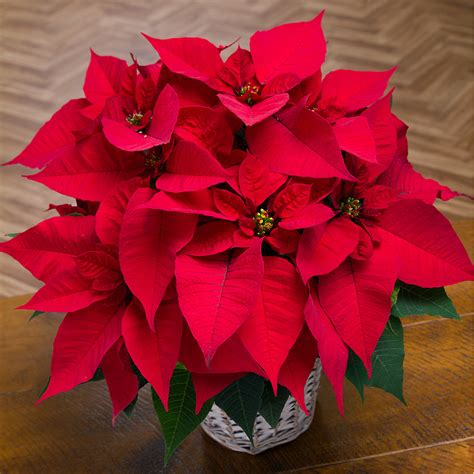 christmas plants christmas poinsettia christmas poinsettia by post