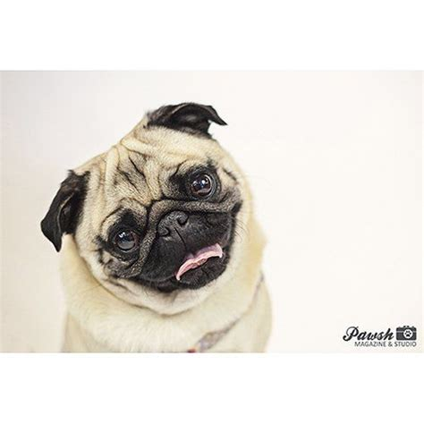 hello pug 1000 images about pugs on puppys images of animals and you smile