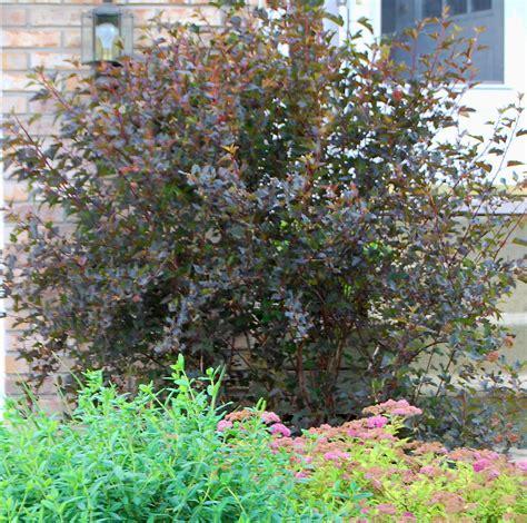 physocarpus opulifolius diabolo plant of the month physocarpus opulifolius diabolo